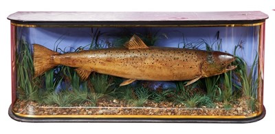 Lot 849-Large preserved salmon in glazed bow front case