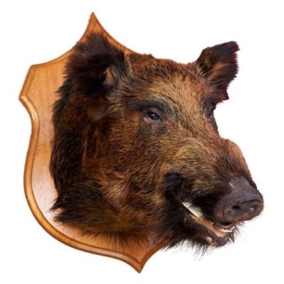 Lot 857-Wild Boar head mounted on oak shield