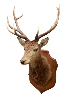 Lot 856-Impressive Stag head and neck mounted on oak shield