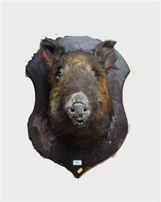 Lot 859-Wild boar head mounted on painted wooden shield