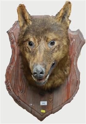 Lot 860-Wolf head mounted on oak shield
