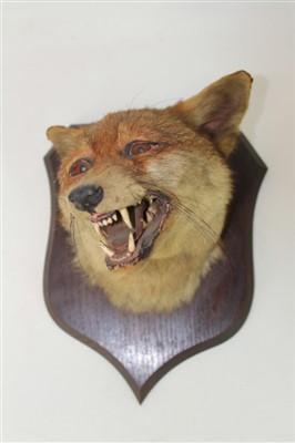 Lot 853-Fox mask mounted on oak shield