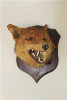 Lot 854-Fox mask mounted on oak shield