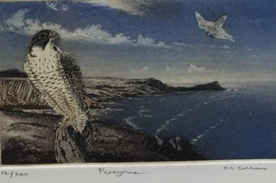 Lot 130 - P. D. Collins (Contemporary) colour etching, Peregrine, signed, titled and numbered 12/200, plate 9 x 13cm, glazed frame